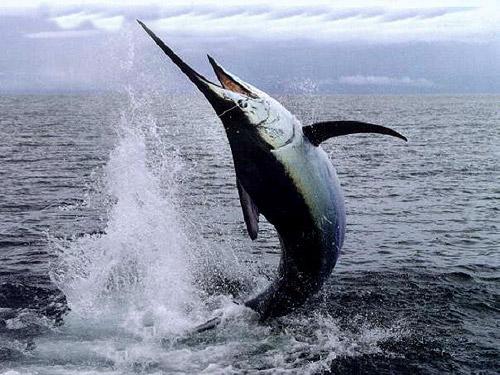 Parmigiana di pesce spada cuciniamoci for Deep sea fishing costa rica