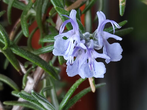 Utilizzare i fiori eduli (o commestibili)