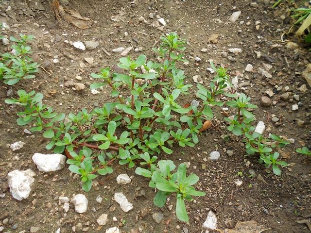 Portulaca ricette erba porcellana commestibile for Portulaca commestibile