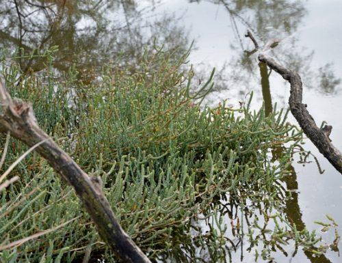 Salicornia – Asparago di mare