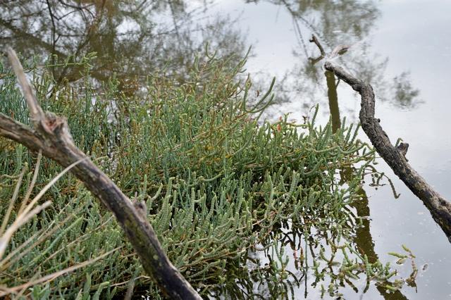Salicornia Asparago di mare Ortaggi che passione by Sara