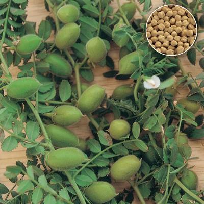 pianta ceci - come cuocere i ceci