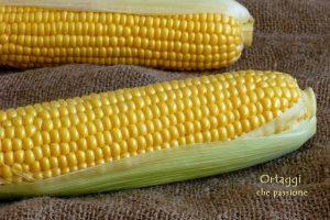 "Pannocchia Cob Ear of Corn ""cottura"""