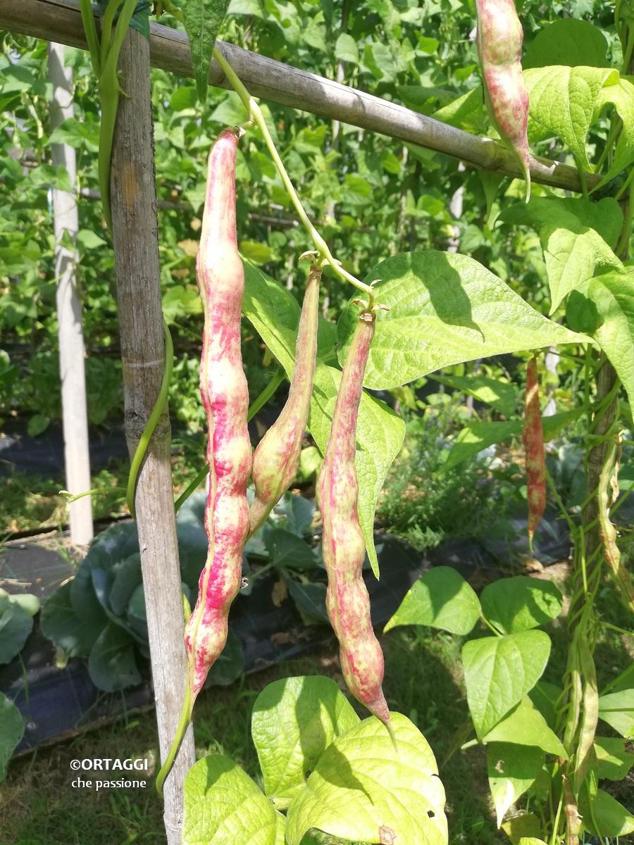 fagioli borlotti sulla pianta