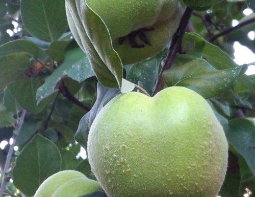Mele cotogne, salute e bellezza del frutto dimenticato.