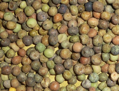 La roveja un legume molto antico