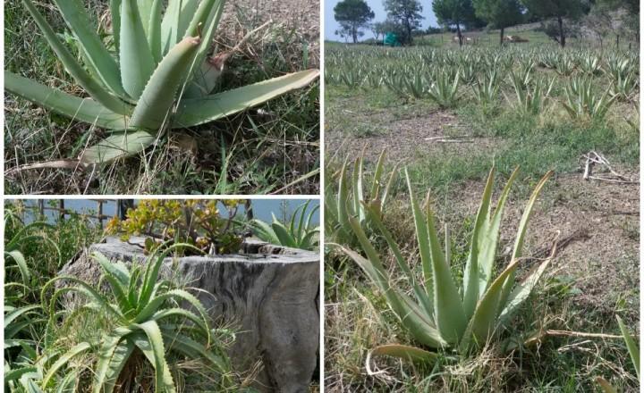 Blog tour Cilento,l' Aloe