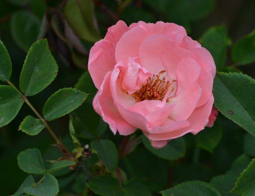 La rosa in cucina ( curiosità, usi e impieghi della rosa )