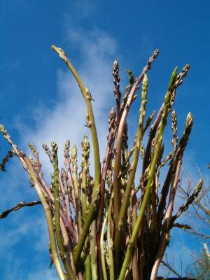asparagi-selvatici (1)