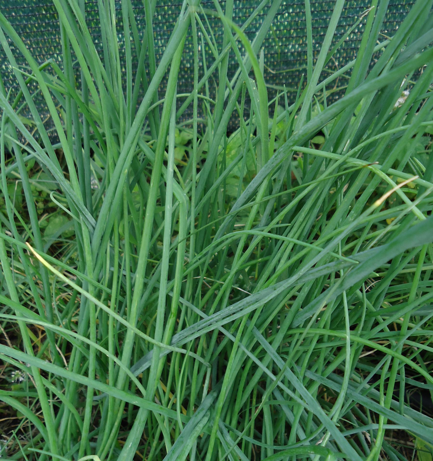 Erbe aromatiche ricette di campagna - Quando seminare erba giardino ...