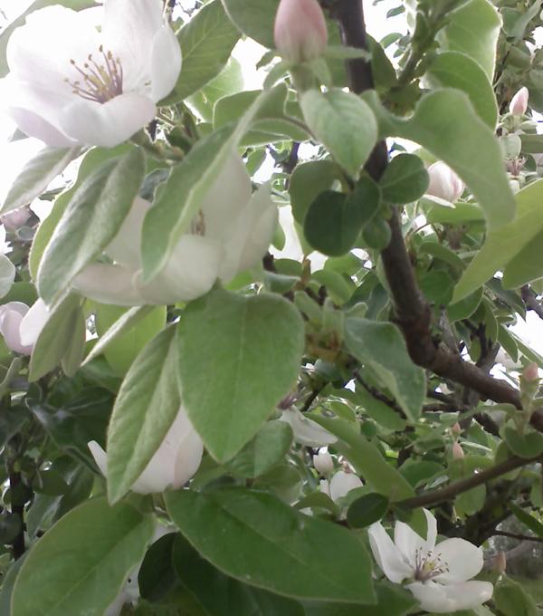 fiori di mele cotogne