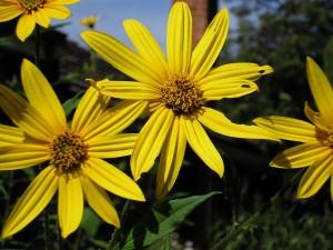 Sunroot_flowers