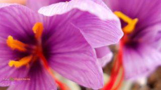 Sfondo desktop fiori - zafferano