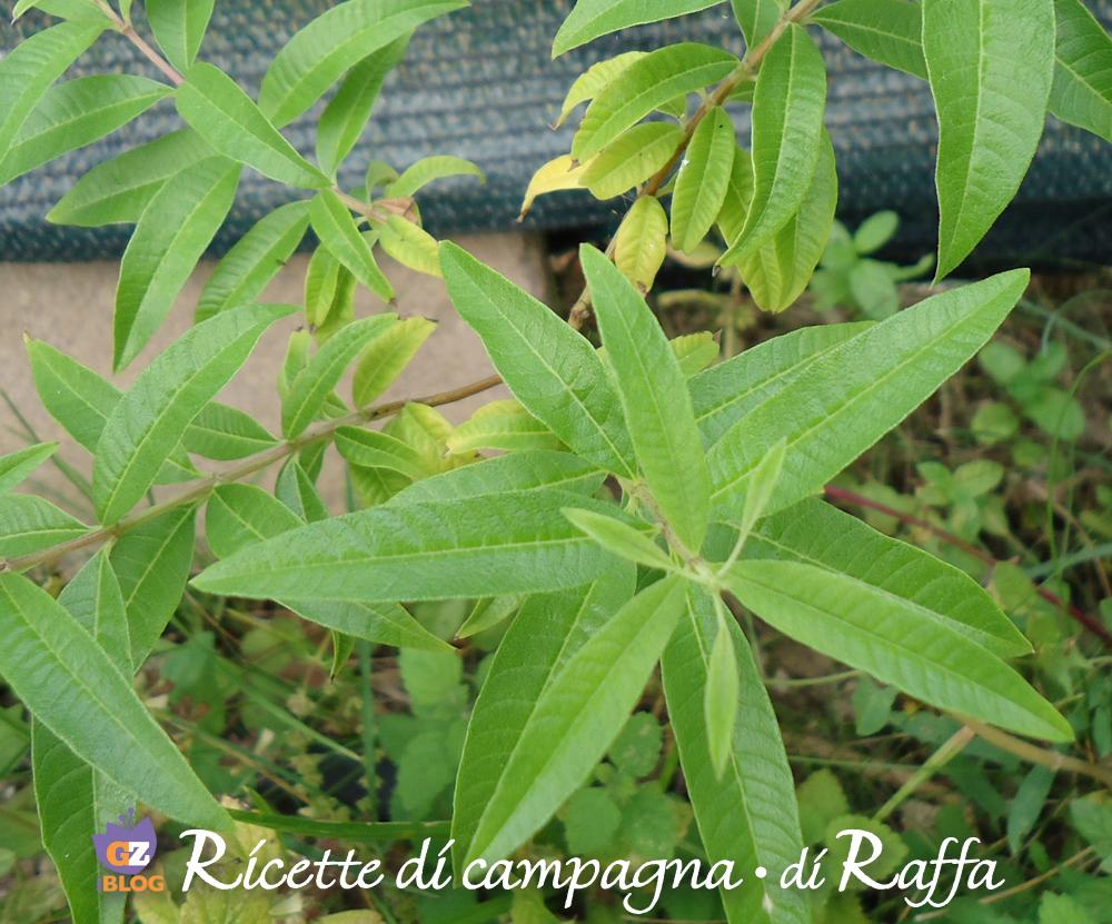 Erba limoncina propriet e ricette - Verbena pianta ...