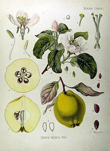 frutti dimenticati: mela cotogna - pianta