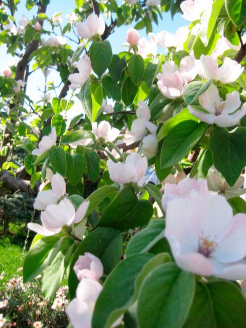 frutti dimenticati: mela cotogna - fiori pianta