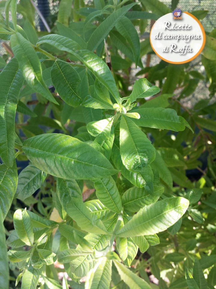 Erba limoncina: proprietà e ricette - pianta