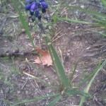 Lampascioni (Muscari comosum) nei campi