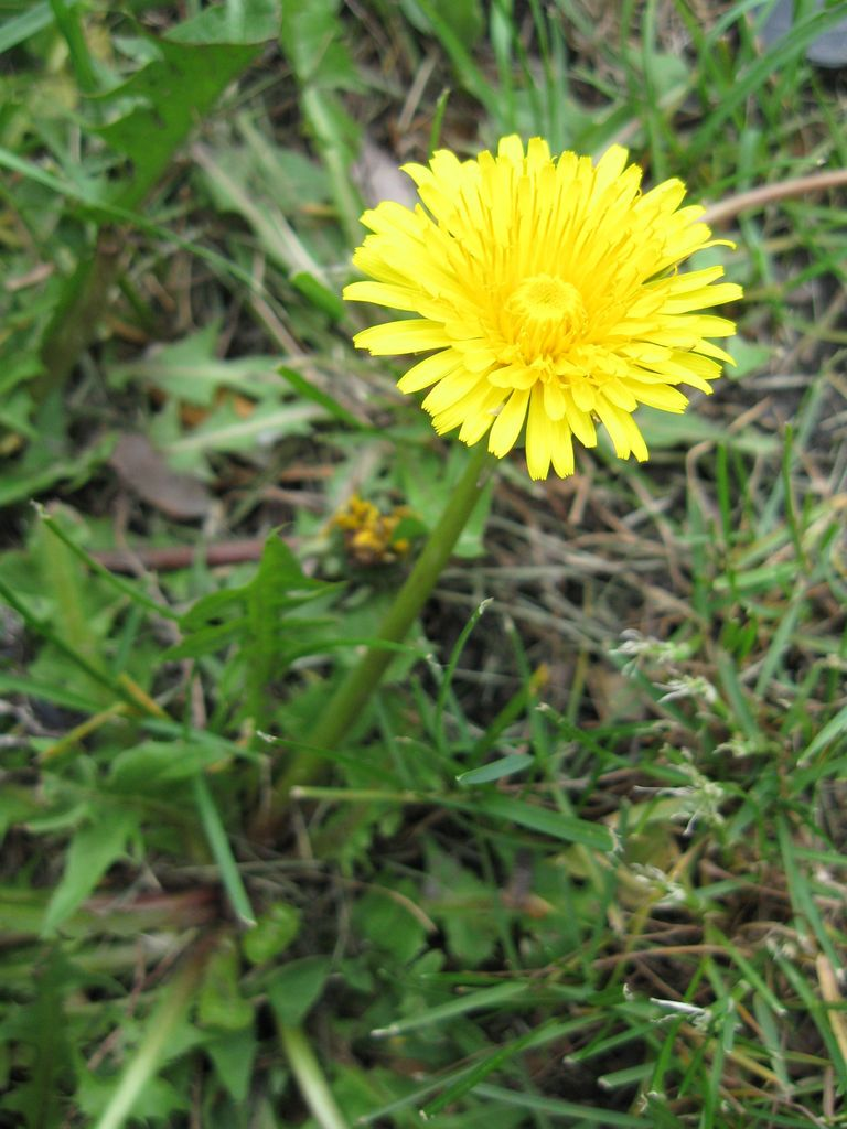 Gelatina di fiori di tarassaco o miele di tarassaco for Fiori con la l