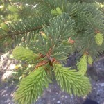 Gemme di abete rosso (Picea abies)
