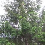 Abete rosso (Picea abies)