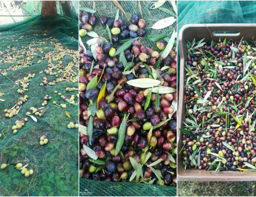 Raccolta delle olive e olio nuovo