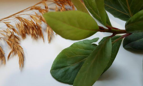 Sciroppo naturale di alloro per tosse e raffreddore
