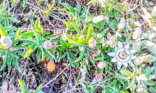 Benefici della pianta passiflora