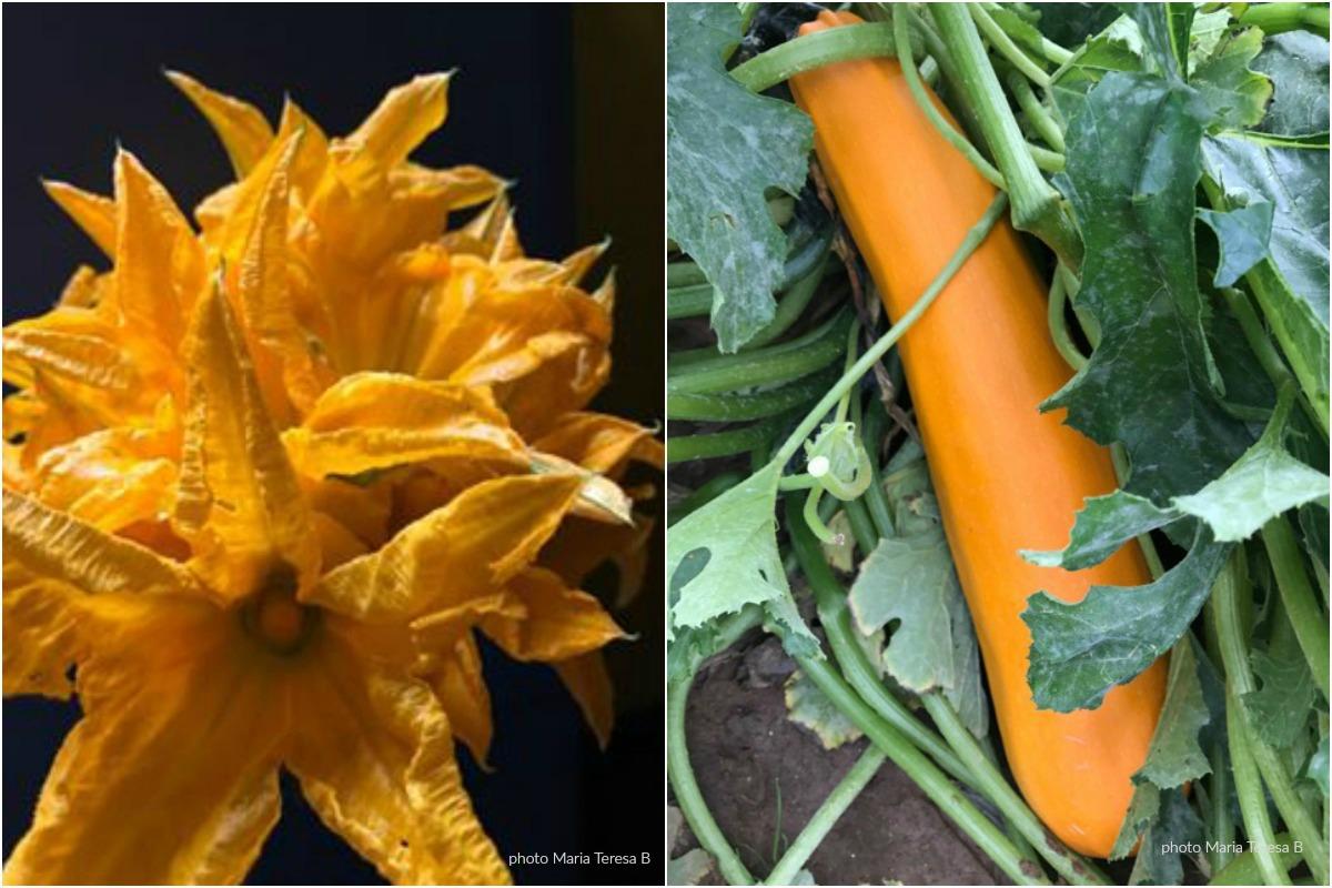zucchine gialle e fiore
