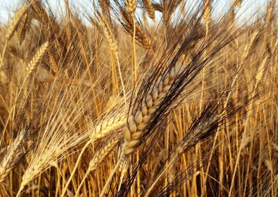 Grani antichi tuteliamo la biodiversità agro alimentare