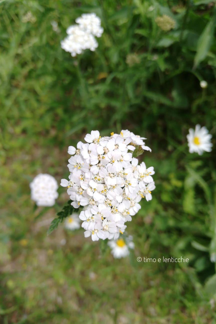 Achillea millefolium,