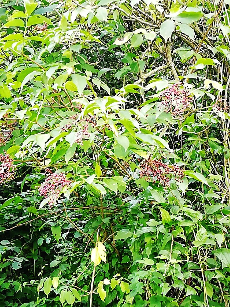 albero di sambuco con bacche